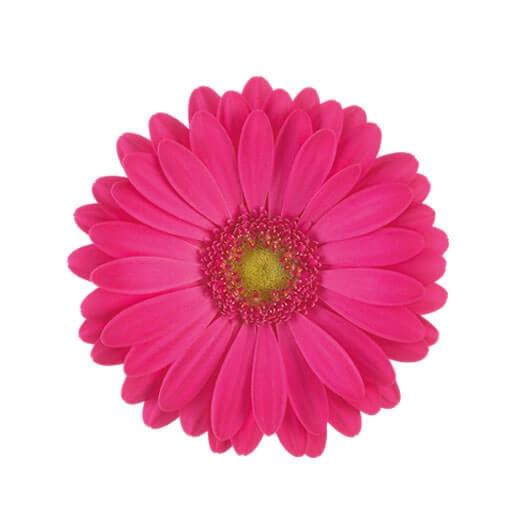 wholesale gerbera_daisy hot pink