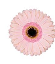 Gerberas-light Pink (10 Stems)