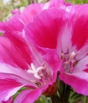 Godetia-pink