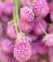 Gomphrena-light Pink