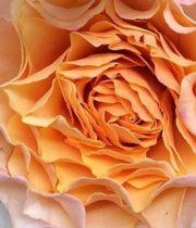 Rose, Garden CA-Peach Campanella-peach