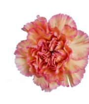 Carnations, Specialty-Gioia-peach