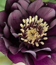 Helleborus-double-purple