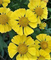 Helenium-yellow