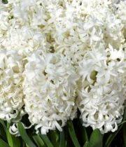 Hyacinth-white