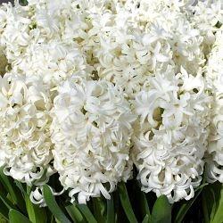 wholesale hyacinth-white