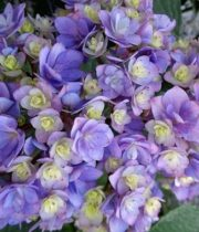 Hydrangea, Expression-bicolor-lavender