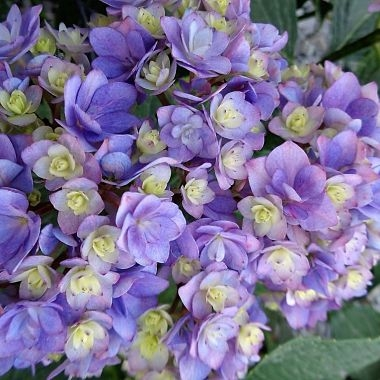 wholesale flowers | Hydrangea -lavender bi color