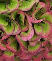 Hydrangea, Antique-green/burgundy
