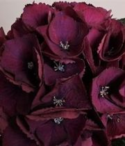 Hydrangea-burgundy