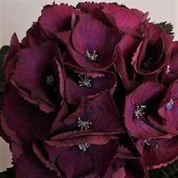 wholesale hydrangea-burgundy