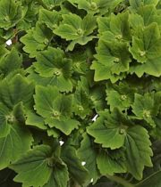 Hydrangea-dark Green