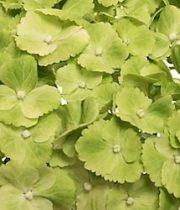 Hydrangea, CA-green
