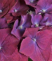 Hydrangea-plum