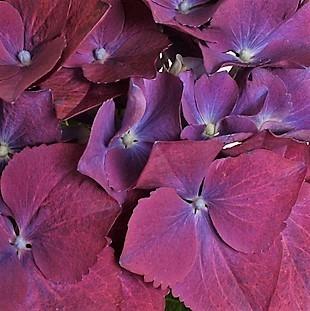 wholesale hydrangea-plum