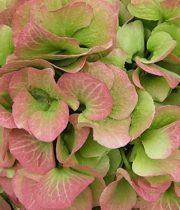 Hydrangea, Antique-green/blush