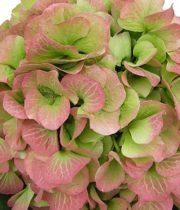 Hydrangea, Jumbo-green/pink