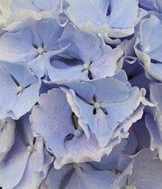 Hydrangea, CA-blue