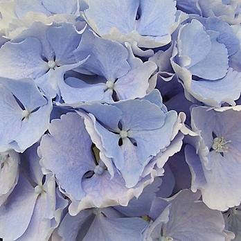 wholesale flowers   Hydrangea jumbo-blue