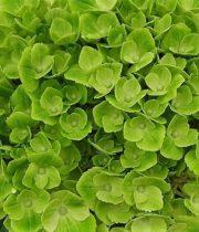 Hydrangea, Sisa-green