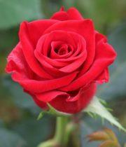 Rose, Happy Dayz-CA