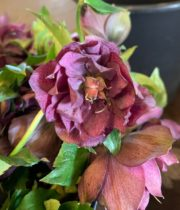Helleborus, Double-purple