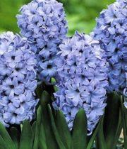Hyacinth-light Blue