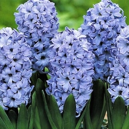 wholesale hyacinth-light delft blue