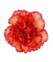 Carnations, Specialty-Indiana-orange