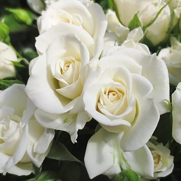 Jeanine Spray Roses
