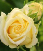 Rose Spray, Lemon Ice-CA