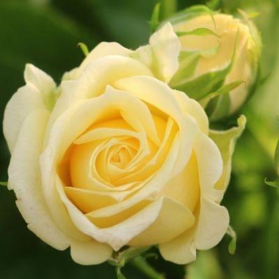 LEMON+ICE-YELLOW-SPRAY-ROSE