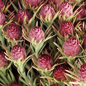 wholesale flowers | leucadendron- crown jubilee