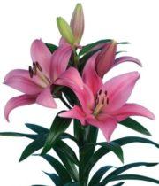 Lily L.A. Hybrid-dark Pink