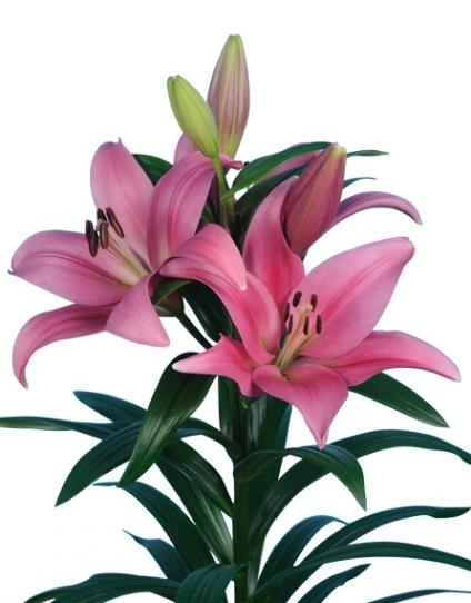 wholesale flowers | hybrid Lily-dark pink