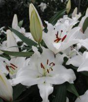 Lily Oriental, Premium Blonde-white