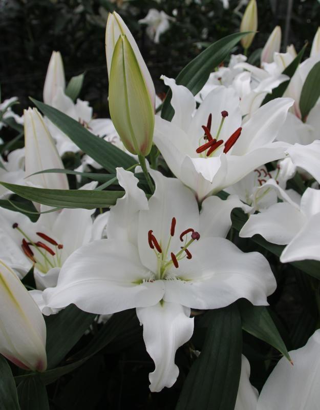 wholesale flowers | oriental Lily-premium blonde