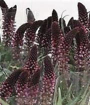 Lysimachia-purple
