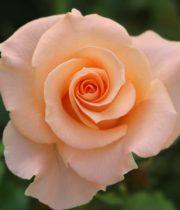 Rose, La Parisienne-CA