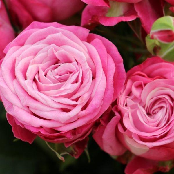Lady Bombastic Spray Roses