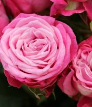 Rose Spray, Lady Bombastic-CA