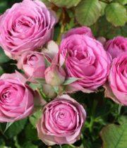 Rose Garden Spray, Lavender Lace-CA