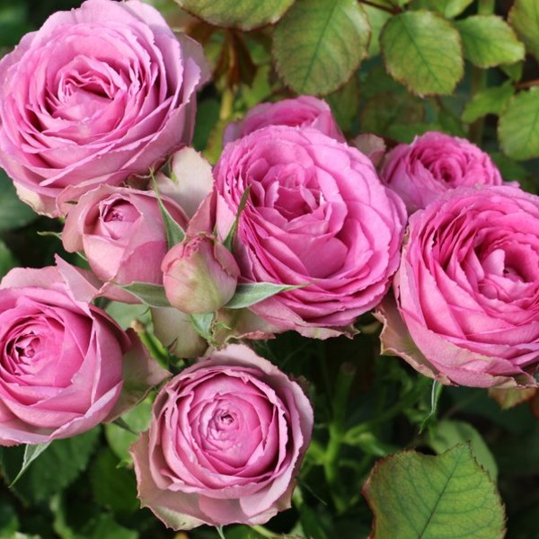 Lavender Lace Garden Spray Roses