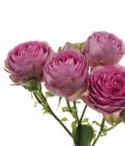 Rose, Spray-Lavender Lace