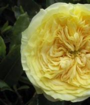 Rose Garden, Lemon Pompon-CA