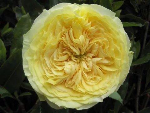 Lemon Pompon Garden Roses
