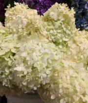 Hydrangea, Limelight-blush
