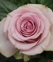 Rose, Lovina-CA