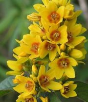 Lysimachia-yellow