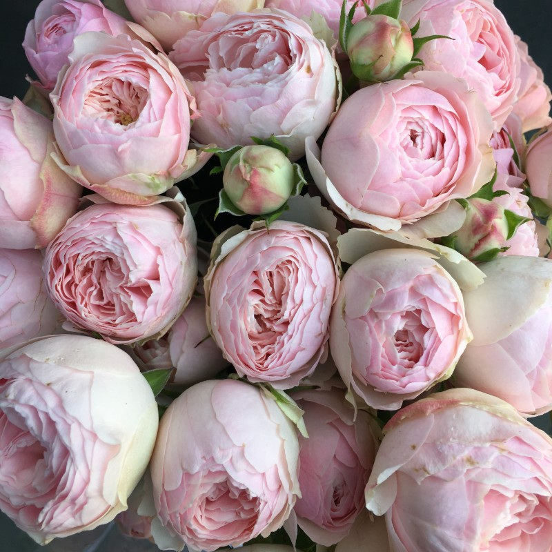 Mansfield Park Garden Spray Rose